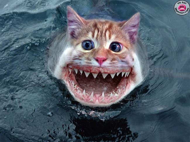 chat_requin